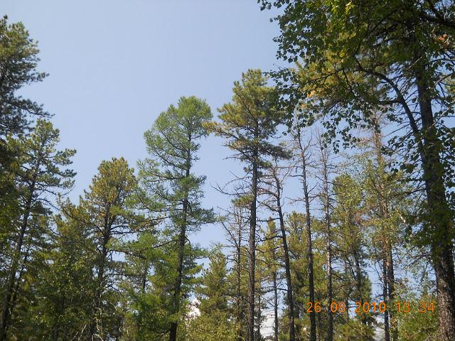 кедровый лес фото